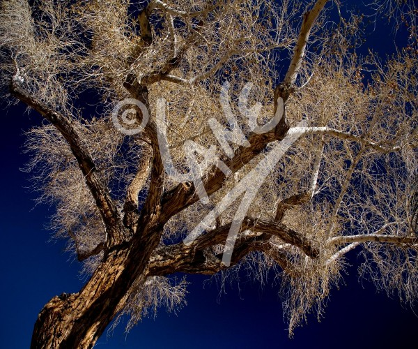 CALIFORNIA Cottonwood Tree